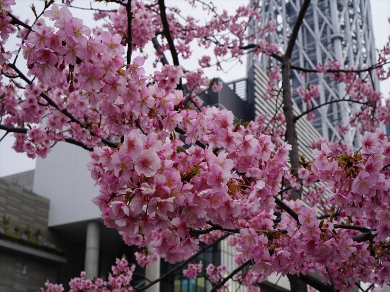 河津桜とスカイツリー015