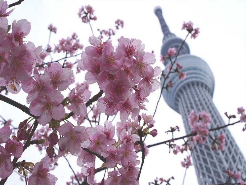 河津桜とスカイツリー007b