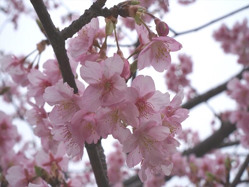 河津桜とスカイツリー001b