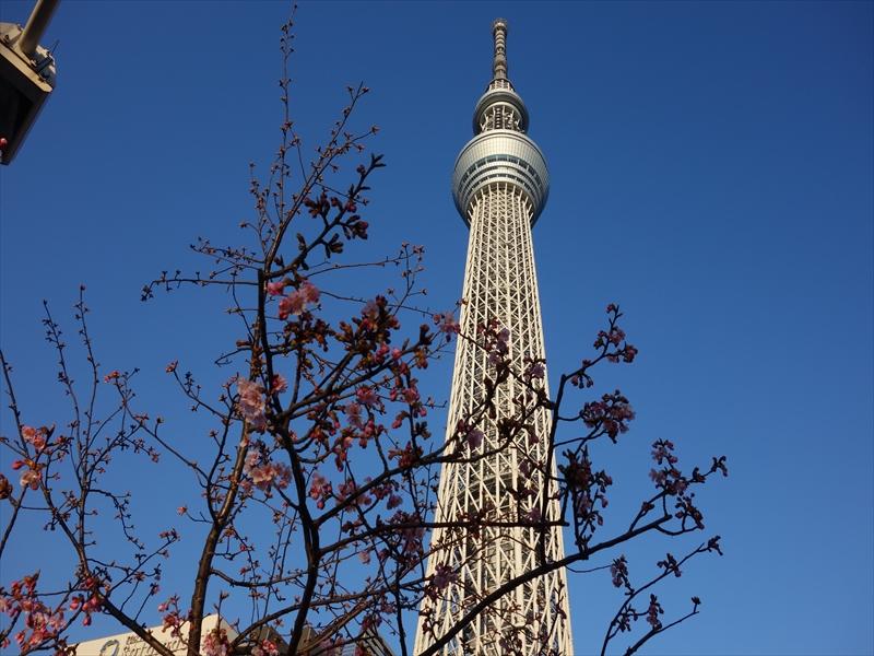 河津桜とスカイツリー002