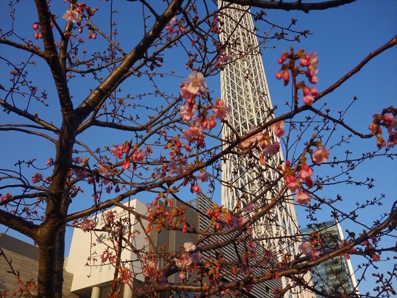 河津桜とスカイツリー006