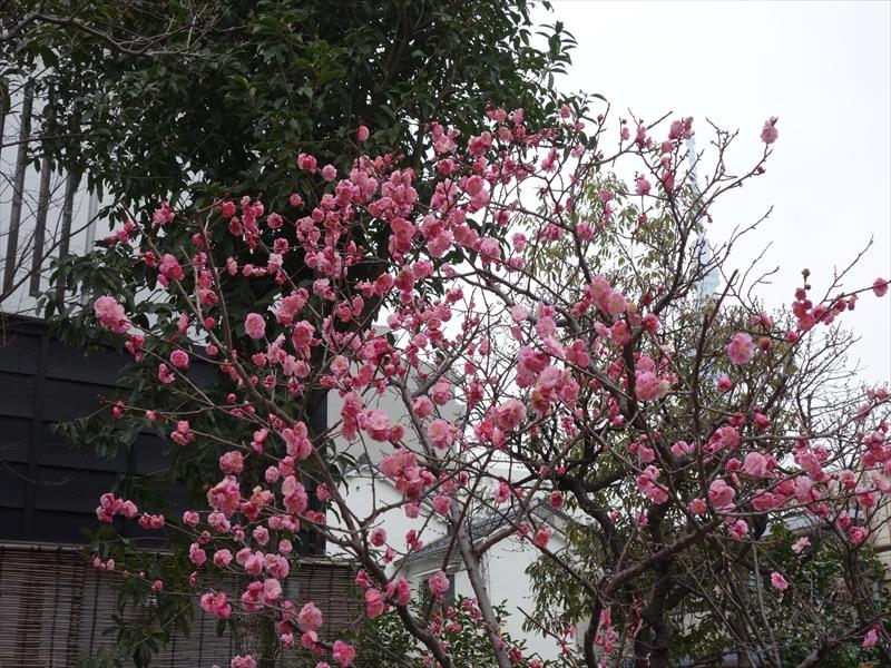 亀戸天神梅まつり2016049