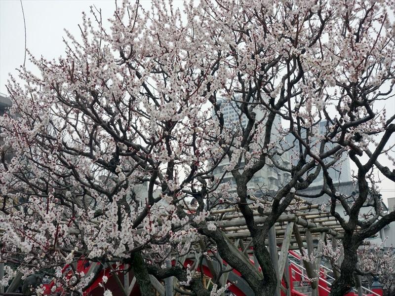 亀戸天神梅まつり2016026