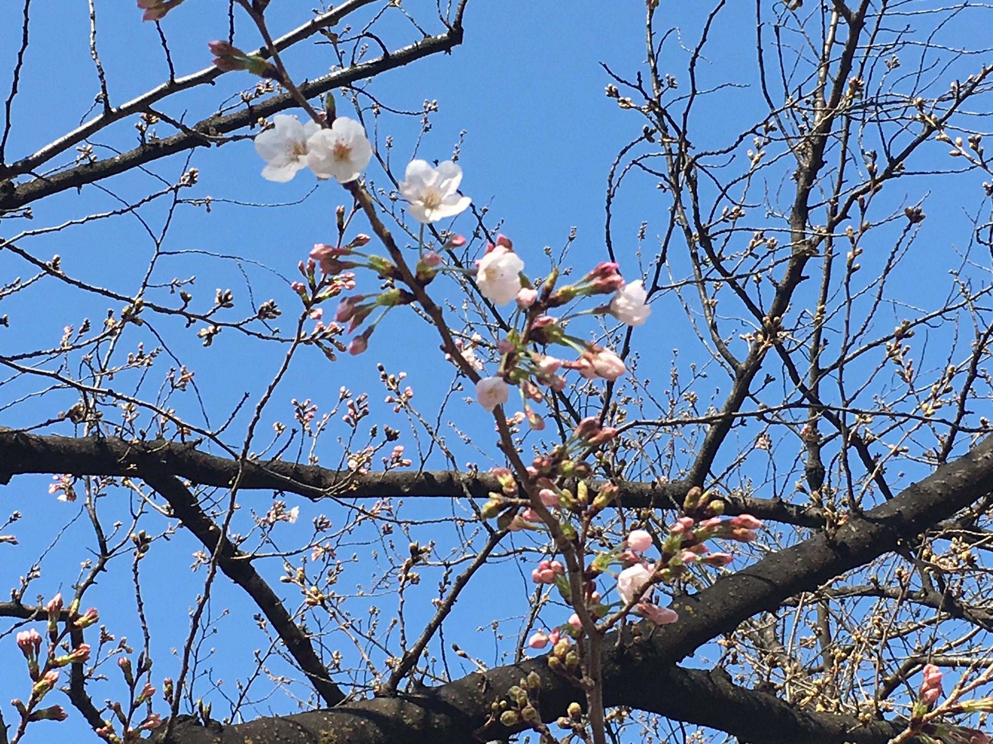 錦糸公園 桜3