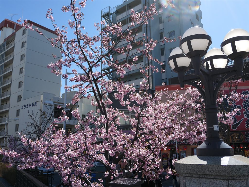 スカイツリーと河津桜
