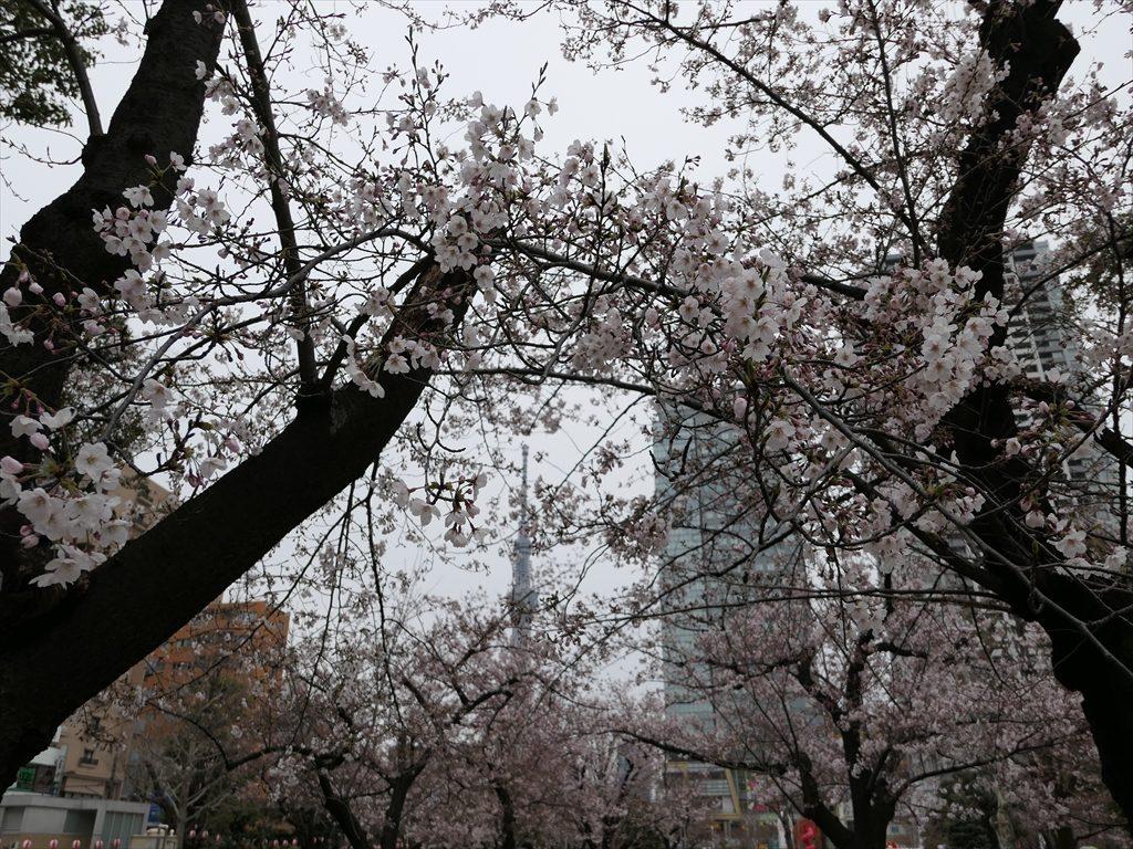 錦糸公園桜2017055_R