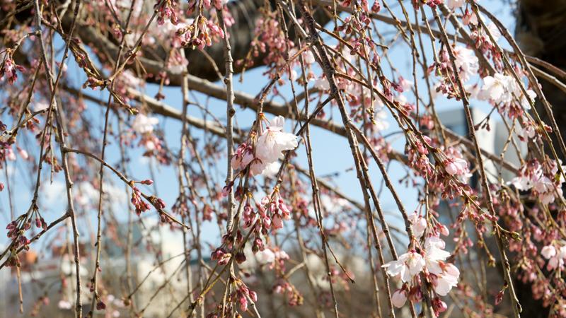 錦糸公園桜