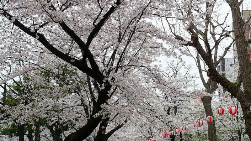 錦糸公園 桜