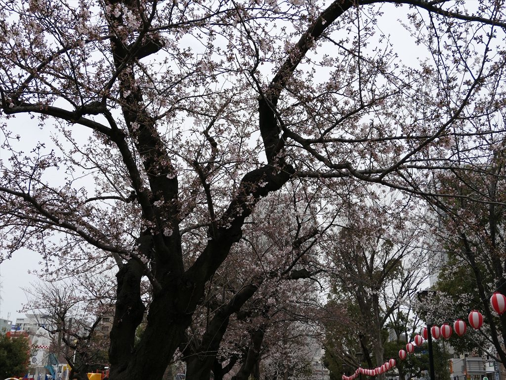錦糸公園桜2017017_R