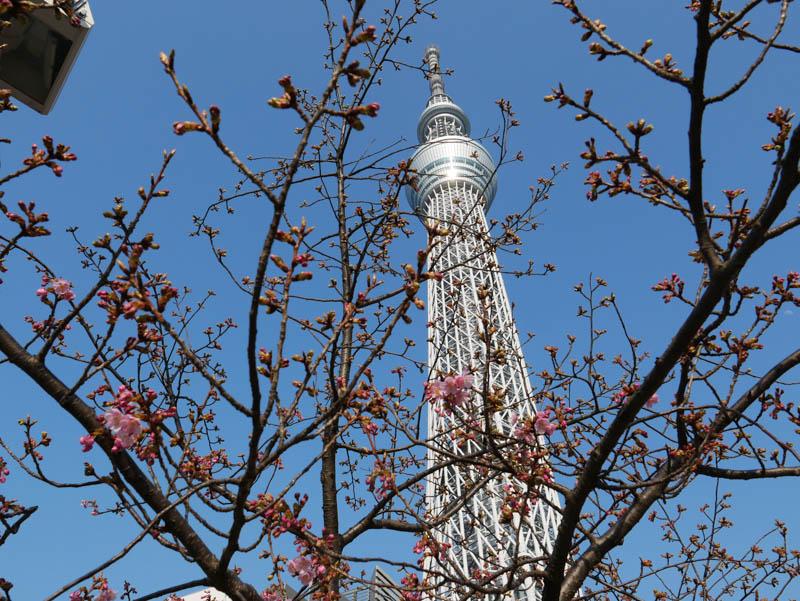 スカイツリーと河津桜18