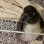 すみだ水族館のペンギンの赤ちゃん