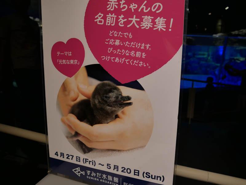 すみだ水族館ペンギンの赤ちゃん