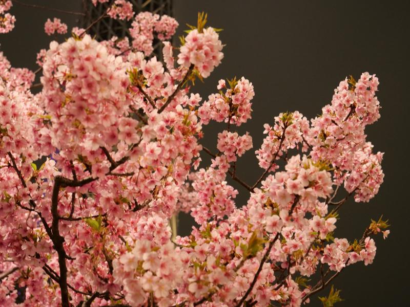 スカイツリー 河津桜