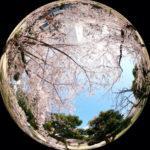 錦糸公園 桜 2020年3月26日